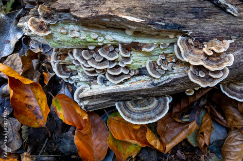 Cuadros en Lienzo Turkey Tail  (Trametes versicolor) fungi on decaying log