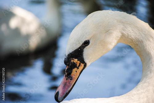 Keuken foto achterwand Zwaan white swan