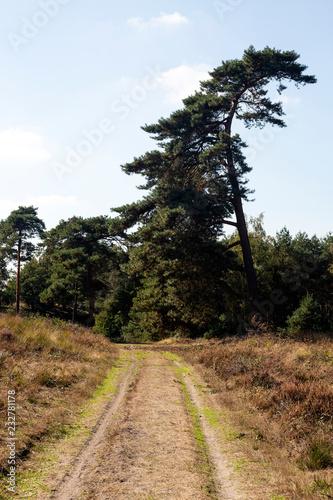 Fotografia, Obraz  Sandy track and crooked Scots pine in Maasduinen National Park, Limburg, Netherl