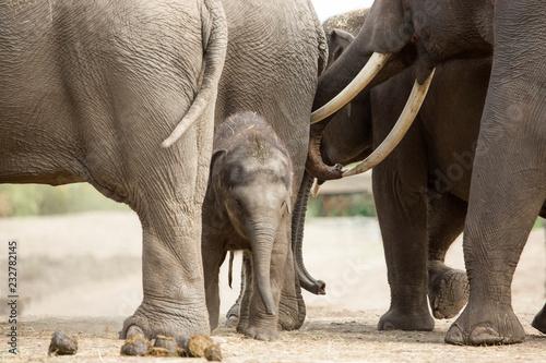 Poster Elephant Baby Aziatische olifant tussen de grote