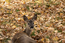 Deer Laying In The Grasses And...