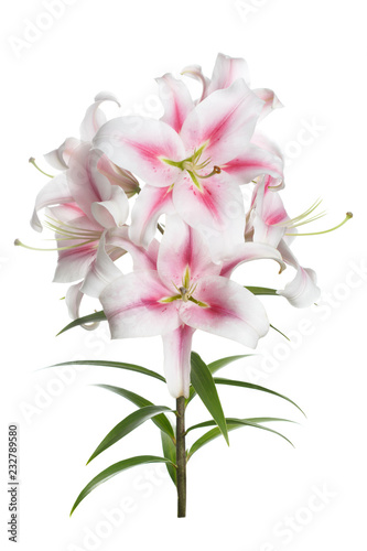 Branch of tender pink lilies isolated on white background. Fototapeta