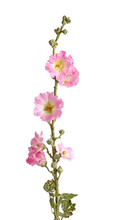 Stem With Pink Flowers Of A Ho...