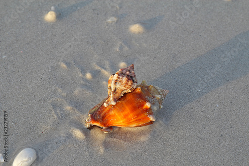 Apple murex snail eating a Florida fighting conch