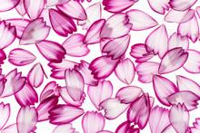 Cosmos Flower Petals