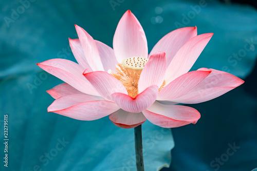 Garden Poster Lotus flower Lotus flower and Lotus flower plants