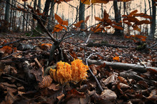 Mushrooms, Called Ramaria Aurea In The Forest During Autumn Season