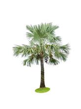 Fan Palm Tree On White Background