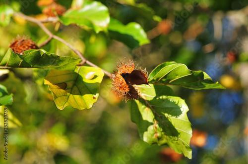 Photo empty cupule of a beechnut