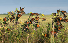 Monarch Butterfly (Danaus Plexippus).Many Butterflies While Traveling To Wintering Grounds. Texas Gulf Coast.