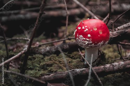Fotografie, Obraz  Champignon rouge