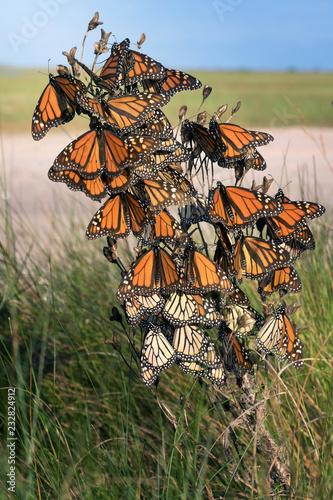 Fototapeta premium Monarch butterfly (Danaus plexippus). Motyle wyczekują silnego wiatru podczas podróży na zimowiska. Texas Gulf Coast