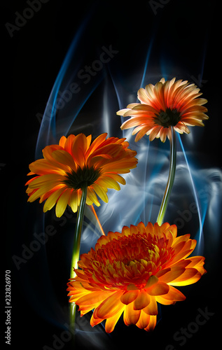 Staande foto Gerbera Gerberas orange and gerbera white on a multicolored background, improvization by blue and white light in black background