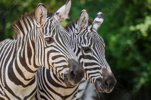 Door stickers Zebra portrait of zebras
