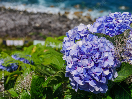 Image of beautiful blooming hydrangeas in the nature