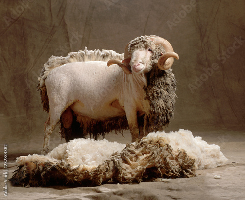 Canvas-taulu wool sheep