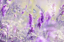 Beautiful Summer Blooming Meadow, Dreamy Purple Colors, Flowers And Butterfly, Soft Light Focus.
