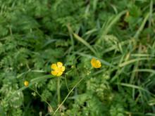 Yellow Grass Flower With Blur Green Background