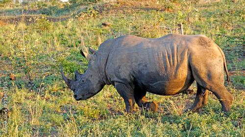 Breitmaulnashorn in Südafrika/ Ein Nashorn mit einem Rotschnabel Madenhacker zwischen den Ohren im  Krüger-Nationalpark in Südafrika