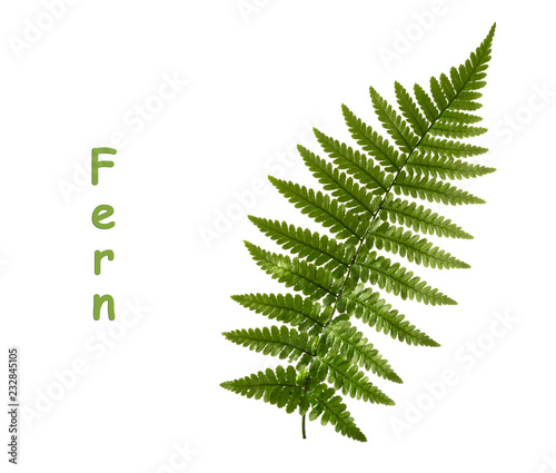 Fern leaf isolated on white. without shadow