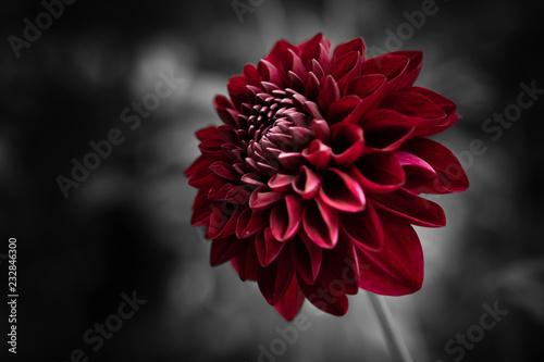 Blutrote Dahlienblüte