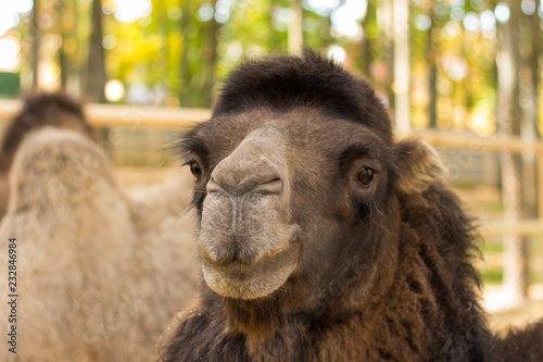 Foto op Plexiglas Kameel Clouseup portrait of the camel on nature
