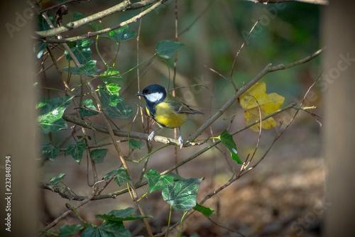 Staande foto Vogel The Great Tit - British Bird