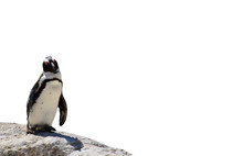 African Black-footed Penguin S...
