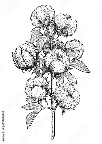 Cotton Plant Illustration Drawing Engraving Ink Line Art