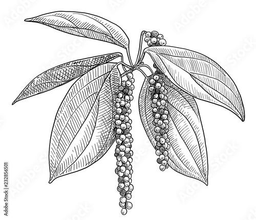 Fototapeta Black pepper plant illustration, drawing, engraving, ink, line art, vector obraz