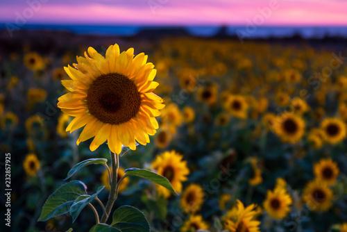 Poster Zonnebloem Gower sunflowers at sunset