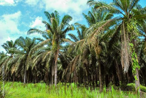 Canvas Print Plantación con cultivo de palma africana