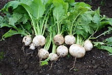 Harvest Of Turnip / Kitchen Garden