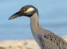 Profile Of Yellow Crowned Night Heron, Jamaica