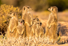 Meerkats In The Morning