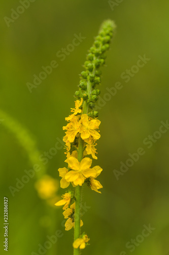 Agrimonia eupatoria, common agrimony, church steeples or sticklewort yellow flower from a multitude of inflorescences close-up Wallpaper Mural