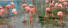 Flamingo Foraging In A Park Pond