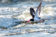 American Oystercatcher Flying On The Waves