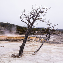 Dead Dried Up Tree In The Pool Of Sulfur And Mineral Deposits At Yellowstone National Park During Winter Time.