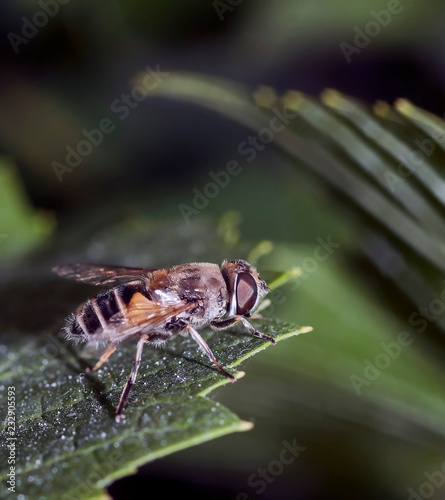 Tuinposter Macrofotografie fly with the Latin name Syrphidae sits on a leaf in the rays of the evening sun, macro