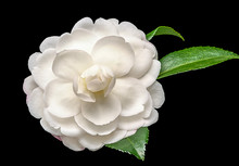 White Camelia Flower On Black ...