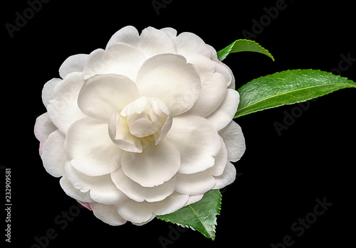 Fotografija White camelia flower on black background