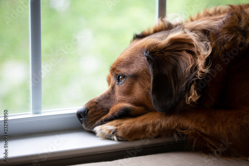 Sad Dog Looking Out Window Waiting For Owner