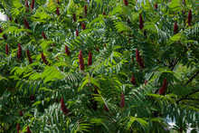 Staghorn Sumac Or Velvet Sumac (Rhus Typhina).Red Flowers With Green Leaves After Rain. Natural Background.