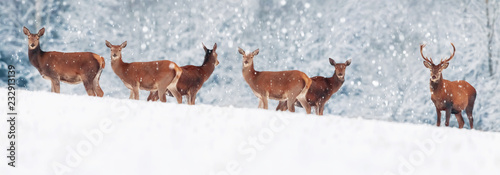 Poster Hert A group of beautiful male and female deer in the snowy white forest. Noble deer (Cervus elaphus). Artistic Christmas winter image. Winter wonderland. Banner design.
