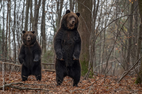 Fotografia, Obraz  Bear standing on his hind legs in the autumn forest