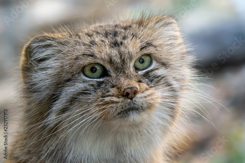 Photo  Manul or Pallas's cat, Otocolobus manul, cute wild cat from Asia.