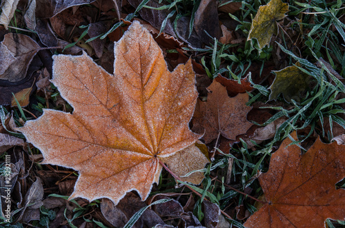 A fallen maple leaf lies on the grass covered with frost after the first frost Canvas Print