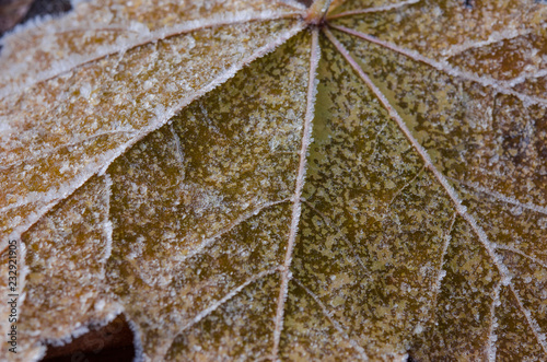 Maple leaf close-up covered with frost after the first frost. Canvas Print
