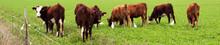 Vaches Et Aigrettes